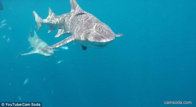 恐怖!女演员为公司与鲨鱼共舞 血染现场