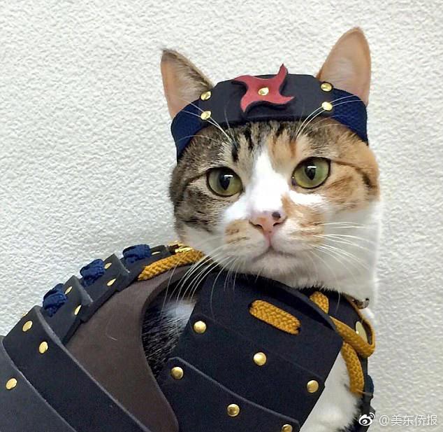 据悉,宠物服是纯手工制作的,包括武士帽和盔甲.