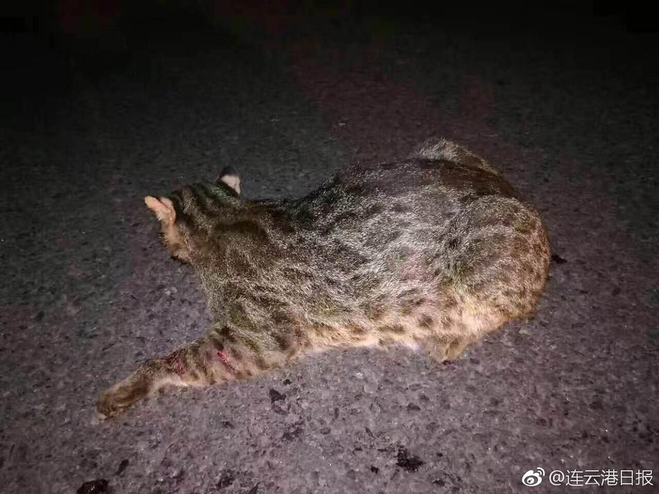 野生动物豹猫再现花果山