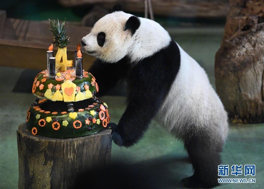 """台北动物园的大熊猫""""圆仔""""过4岁生日"""