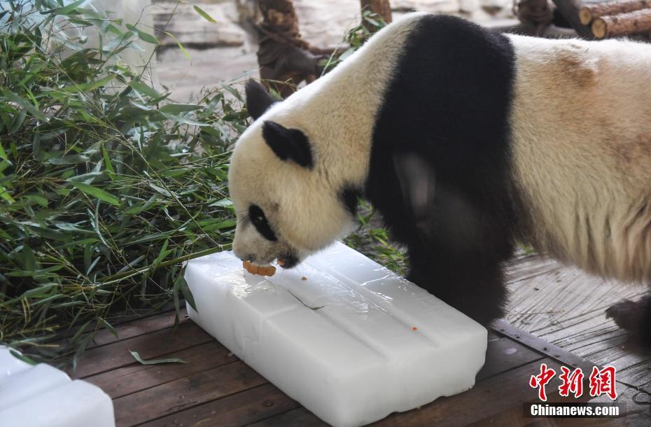 山东持续高温 动物园大熊猫拥冰解暑