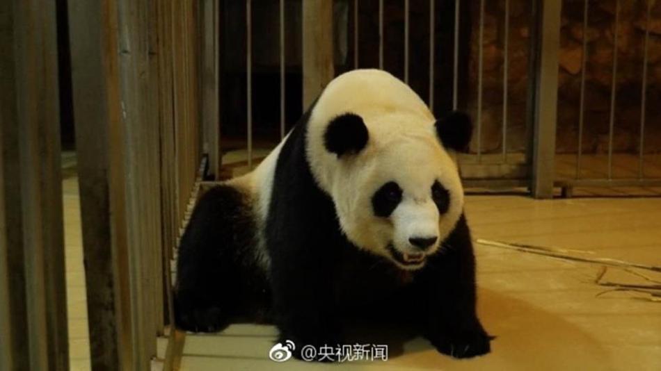 """成都大熊猫""""奇珍""""第6胎成功分娩!"""