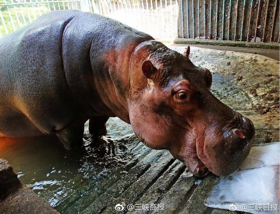 """非洲动物们也热的""""受不了"""" 吃冰棍解暑"""