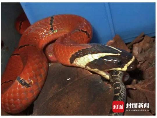 海南发现一新物种 以四川老师姓氏命名图片 29558 540x407