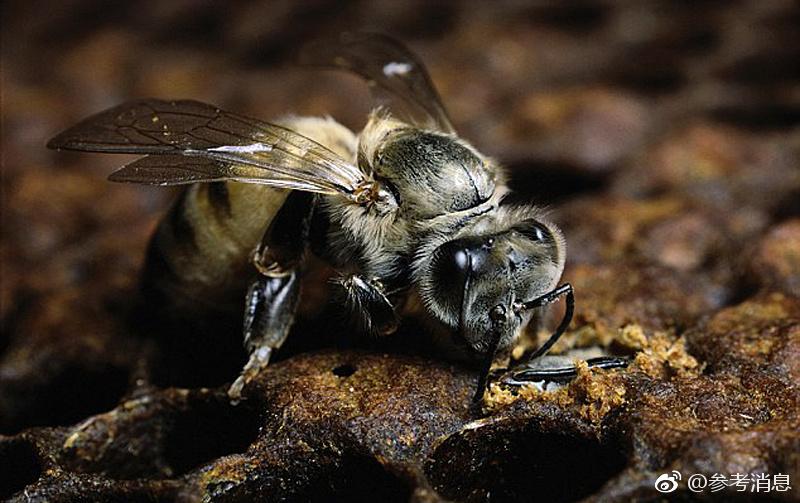 利比里亚养蜂人 非洲 杀人蜂 不好惹 但它们的蜂蜜很纯净