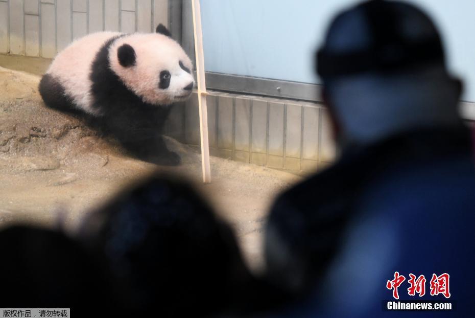 旅日大熊猫香香亮相引发热潮 观众抽签才能看她图片 42889 930x622