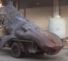 渔民误捕巨型鲸鲨