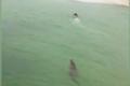 男子游泳遇鳄鱼追赶