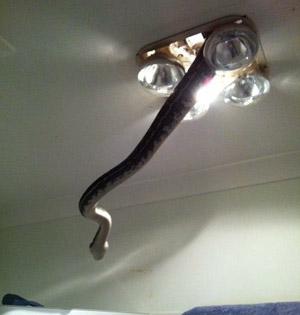 澳家庭灯具钻出巨蟒:网友吓哭
