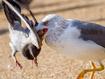 海鸥淹死鸽子食用