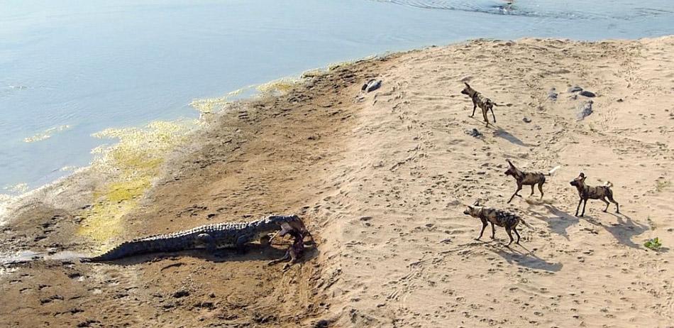 南非鳄鱼突然冲入豺狗群抢走黑斑羚大餐