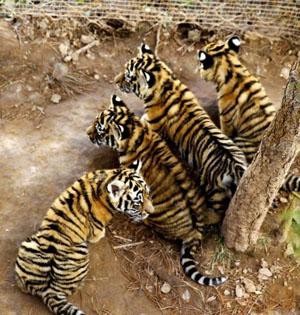 青藏高原首例自然繁殖东北虎4胞胎