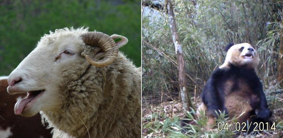 一周图片精选:绵羊误食大麻傻笑不止