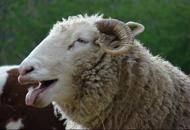 绵羊误食价值4万元大麻傻笑不止