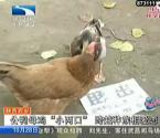 鸡与鸭相恋恩爱无比