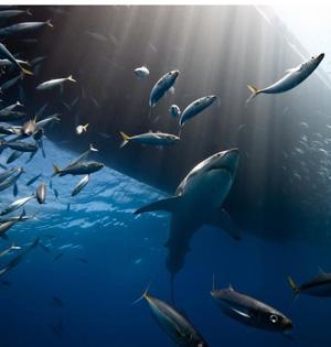 国家地理摄影:大白鲨聚集围猎海狮