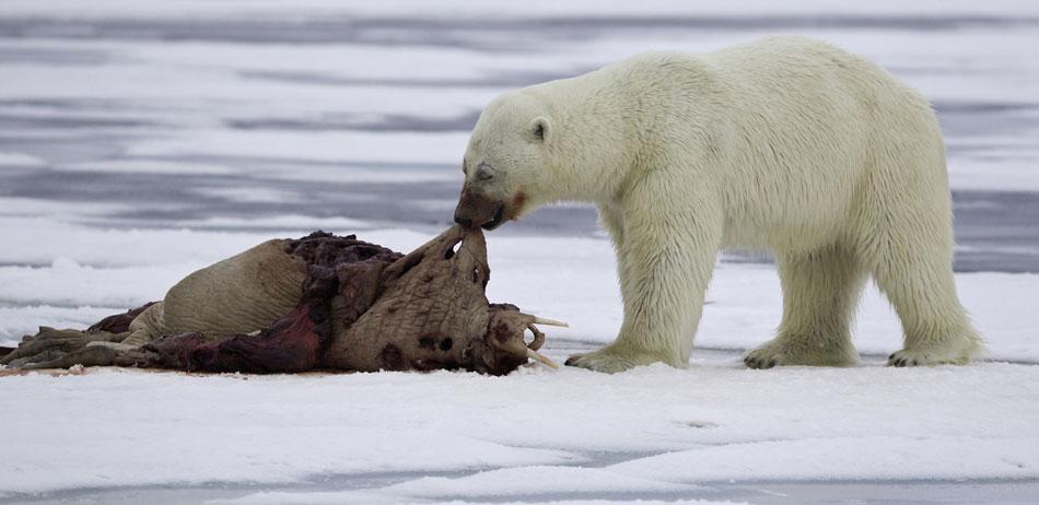 挪威北极熊猎食教学:歌曲海象欲登船蚂蚁满身小血迹图片