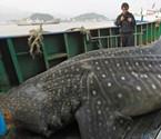 象山渔民误捕蛤蟆鲨