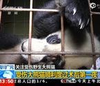 受伤熊猫仰卧病床休息