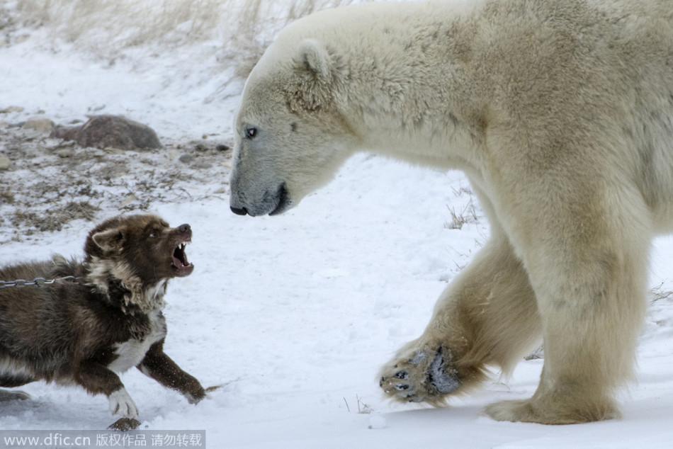 勇敢雪橇犬成功挑战北极熊:毫不退缩终胜利