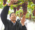 宁波成功试种冬季葡萄