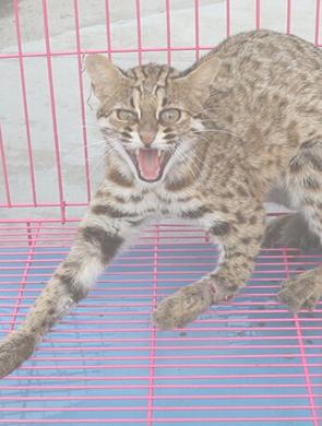 福州贵安路遇卖保护动物豹猫