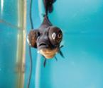 黑色小金鱼长出第三只眼