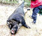 400斤野猪蹿入大榭一个公园