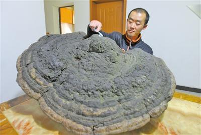 百斤重的大家伙 专家辨认称是灵芝