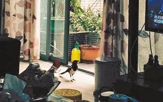 喜鹊飞进门 和主人一起看电视吃零食