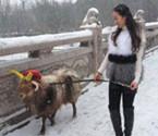美女雪中遛羊获赞任性