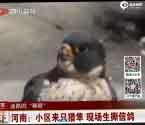猎隼小区楼顶捕食鸽子
