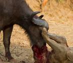 水牛鏖战杀死雄狮