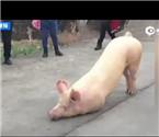 温州猪寺院跪拜引围观