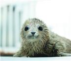 斑海豹宝宝大连降生