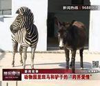 动物园斑马和驴相爱