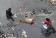 泉州50多头死猪抛尸溪面