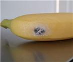 香蕉中发现寄生毒蜘蛛