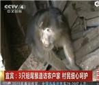 3只短尾猴造访农户家