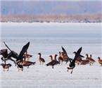 辽河湿地飞来千只大雁