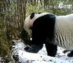 野生大熊猫寻大树