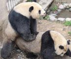 大熊猫自然交配成持久哥