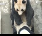 全球首播大熊猫交配
