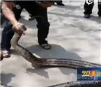 三米长大蟒蛇公园晒太阳