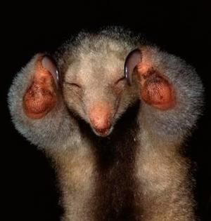 精彩而奇妙的自然界:侏食蚁兽