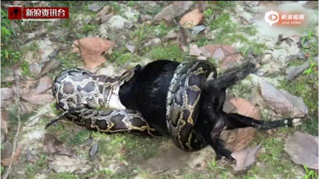 巨蟒全身缠住整只山羊 花4小时吞下