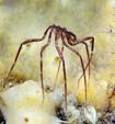 神秘而奇特的海蜘蛛