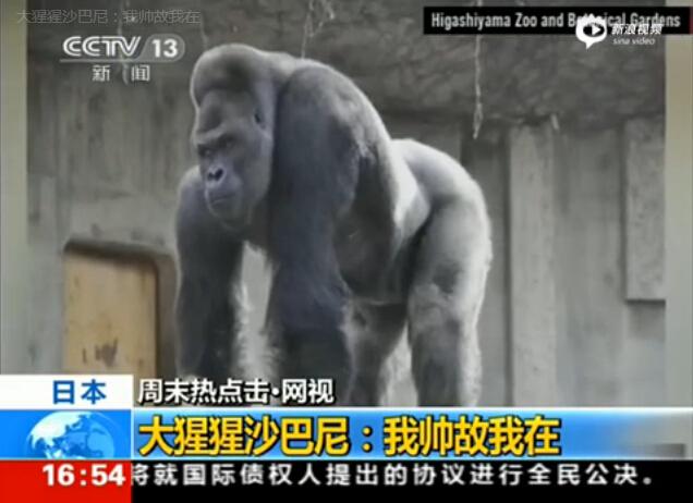 """日本动物园大猩猩太帅 引女游客疯狂""""追猩"""""""