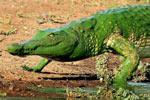 """鳄鱼被水藻覆盖似""""绿巨人"""" 吓坏摄影师"""