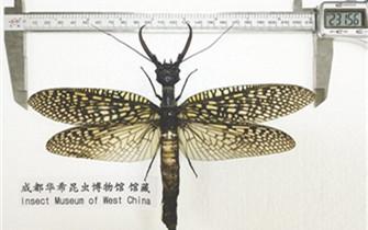 世界最大恐怖蜻蜓隐居青城山